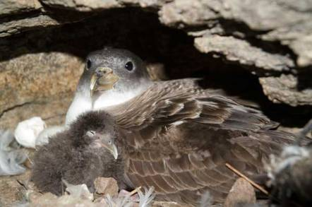Picture_Cory_s_shearwater